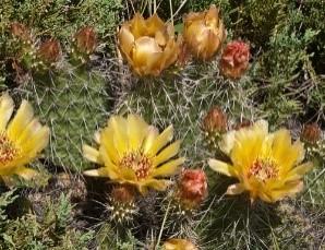 Brittle Prickly-Pear Cactus