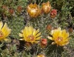 Brittle Prickly-Pear Cactus