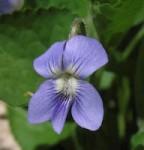 Wooly Blue Violet
