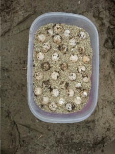 The Rescued Turtle Eggs